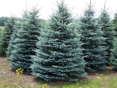 serbian spruce tree national tree of serbia serbian spruce 123countries
