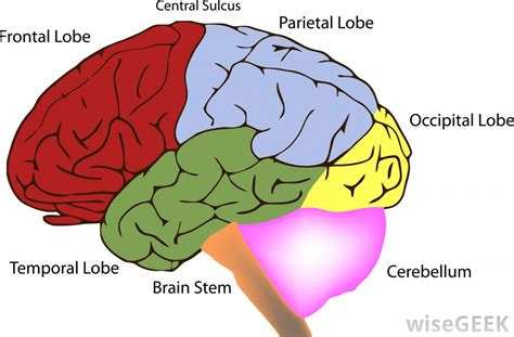 diagram of brain lobes what are the different types of brain surgery for seizures