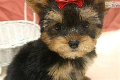 new york yorkie dogs and puppies for sale and adoption oodle marketplace