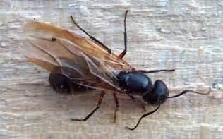 understanding carpenter ants hogarth s pest control