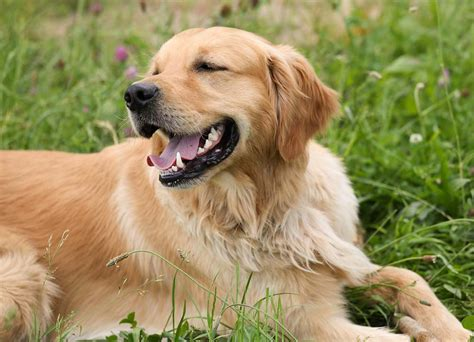 golden retriever tasmania golden retriever cuidados caracter 237 sticas y comportamiento