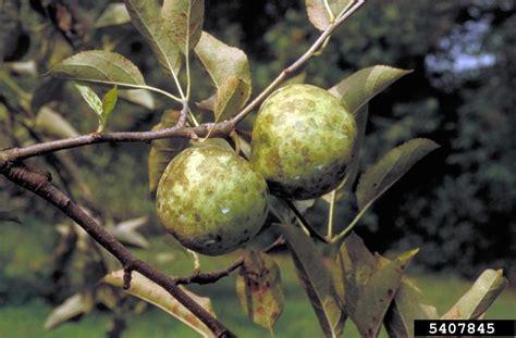 fruit tree fungus identification fruit tree care organic disease stark bro s