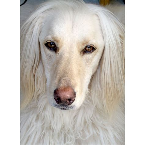 golden retriever afghan hound mix afghan hound golden retriever mix wag more less cas golden