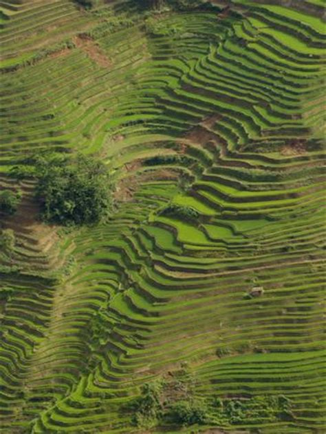 rice terraces of the ailao mountains, honghe prefecture