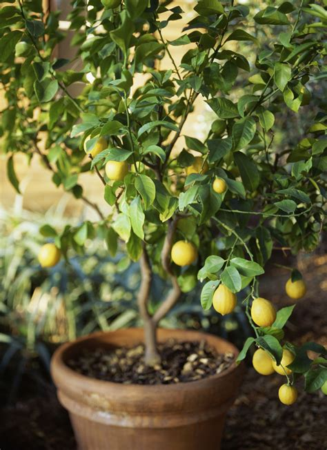 backyard lemon tree how to grow meyer lemon trees in garden pots