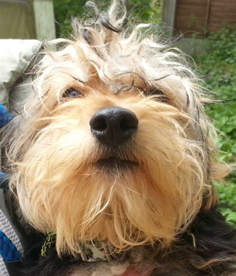 yorkie pet rescue rescue macmillan yorkie cross peterborough cambridgeshire pets4homes