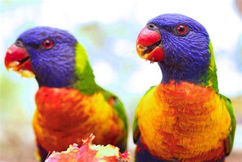 alimentazione pappagalli trichoglossus haematodus lorichetto arcobaleno