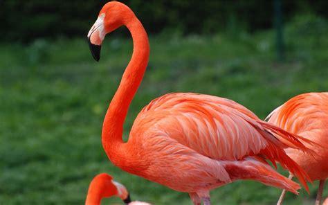 red flamingo desktop wallpaper hd  mobile phones