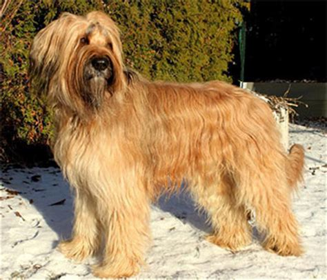 Do Briards Shed by Briard From To Therapy Work