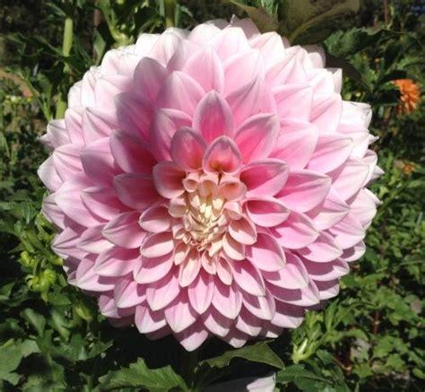 devon seattle dahlias by flower name