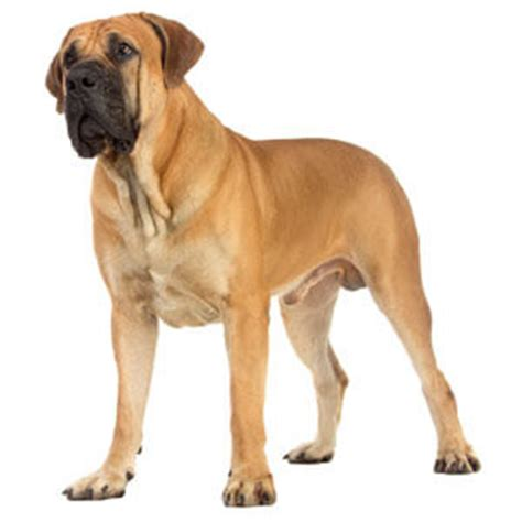 mastiff breeds mastiff breed 187 information pictures more