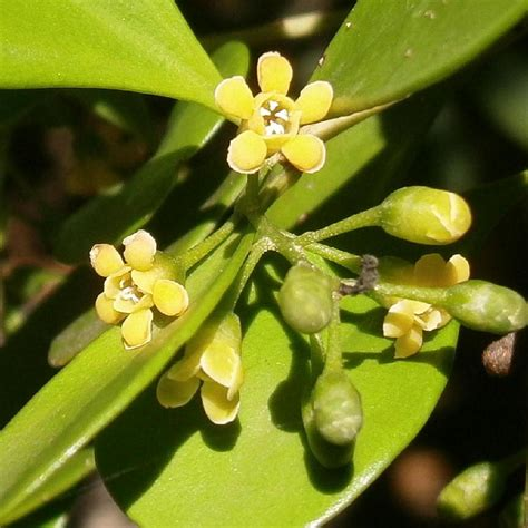 Vas Flora herbarium j genus plant list