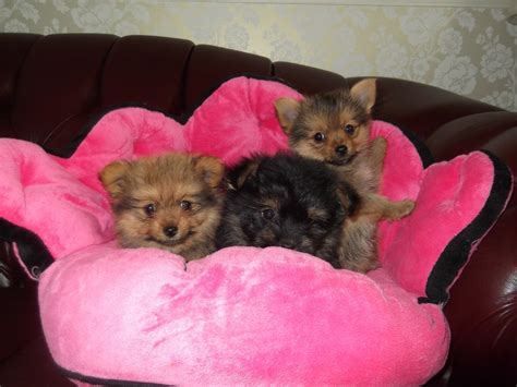 x yorkie puppies pomeranian x yorkie puppies wadhurst east sussex pets4homes