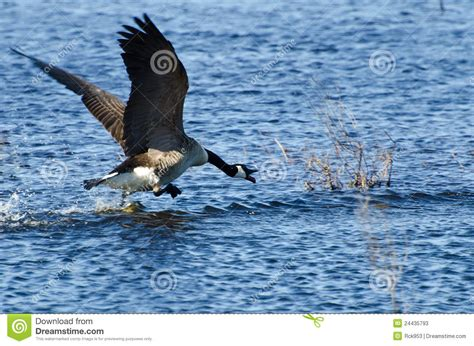 taking a to canada canada goose taking to flight stock photos image 24435793