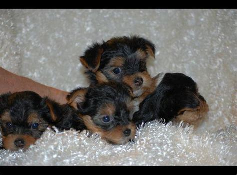 teacup yorkies for sale in new orleans 160 akc teacup yorkie puppies for free adoption household neworleans
