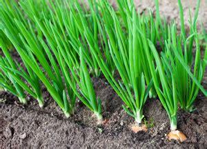 wann zwiebeln ernten schalotten anbauen pflege und vermehren unterschied zu