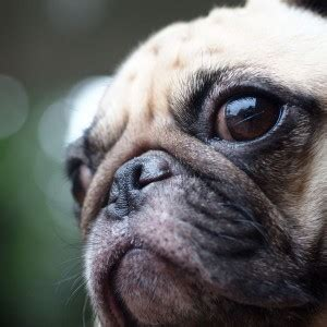 can dogs get pink eye can dogs get pink eye from humans symptoms and treatment dogs cats pets