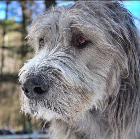 villalobos puppies wolfhound puppies via i lurchers
