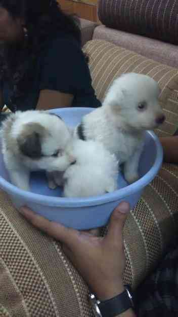 1 month pomeranian puppies one month pomeranian puppies for sale hyderabad animals