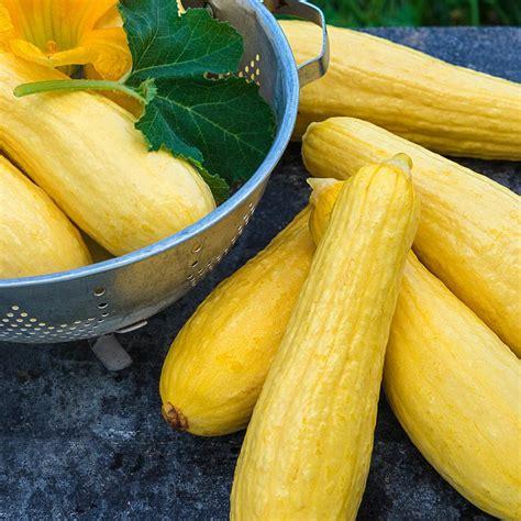 gurneys summer squash multipik hybrid vegetable seeds