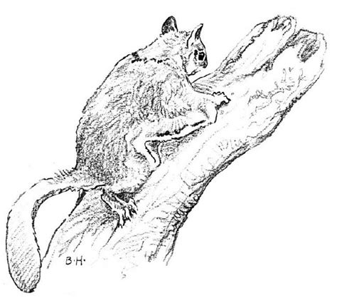 coloring page flying squirrel flying squirrel free coloring pages