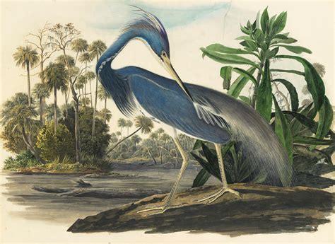 audubon s original watercolors on display at the new york