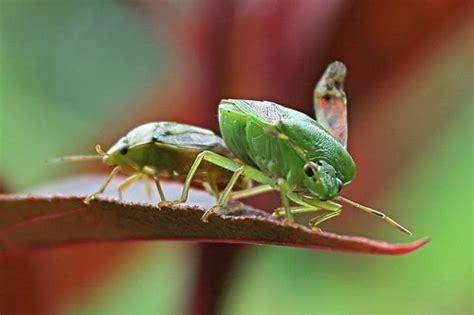 Insektisida Antilat hama tanaman dan cara mengatasinya bibit