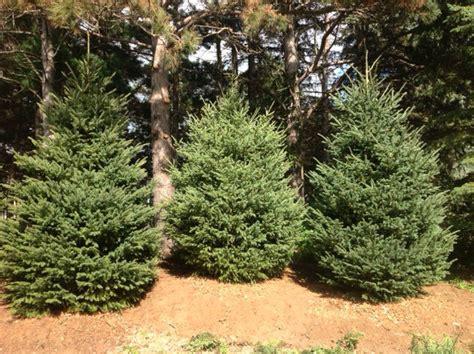 tamarack tree for sale beatiful tree