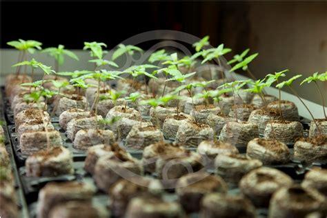 culture de graines de cannabis r 233 guli 232 res en int 233 rieur