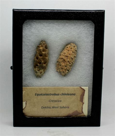 Fossil 3 3cm fossil pine cones equicalastrobus chinleana 3 7 and 3
