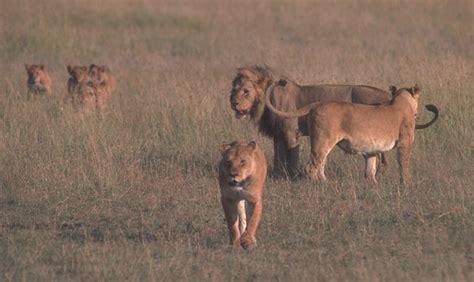 imagenes manada leones lasabanagrupomodular animales de la sabana