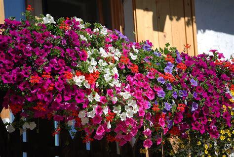 come fare un balcone fiorito domani a pettinengo comincia la festa quot balcone fiorito