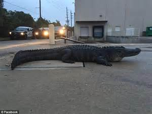 reptile wrangler wrestles alligator in home