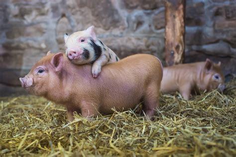 haus schwein animals pigs wallpaper no 344354 wallhaven cc