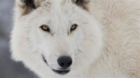 ghost actor game of thrones alberta wolf that plays ghost on game of thrones still