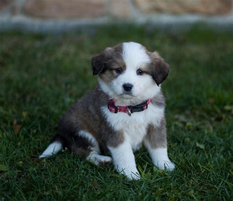 pyrenees mix puppies friendly fluffballs bernese mt great pyrenees mix puppyindex