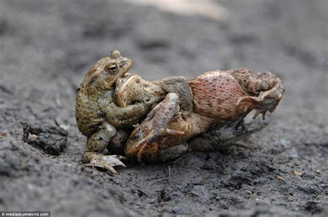 Toad In The Mud by Hilarious Photos Show Toads Fighting To Mate With A