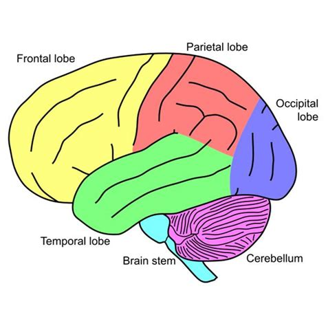 Four Sections Of The Brain by Unlabeled Brain Diagram Cliparts Co