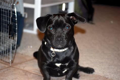 pug mixed with pitbull black dogs and cats thatmutt a