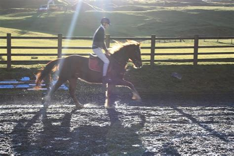welsh section d for sale uk welsh section d gelding for sale south wales merthyr