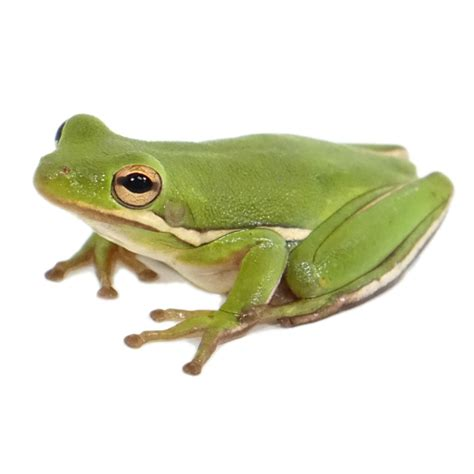 frog gig for sale buy green tree frogs for sale with same day shipping