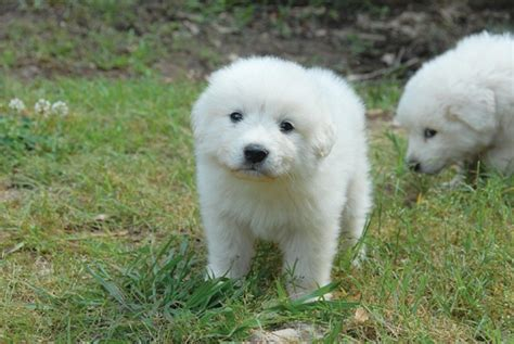 great pyrenees puppy great pyrenees puppies