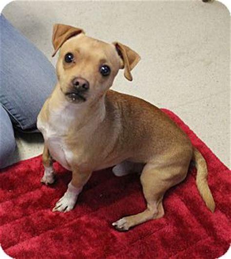 shih tzu puppies for adoption in sacramento ca rancho cordova ca dachshund shih tzu mix meet chip a for adoption