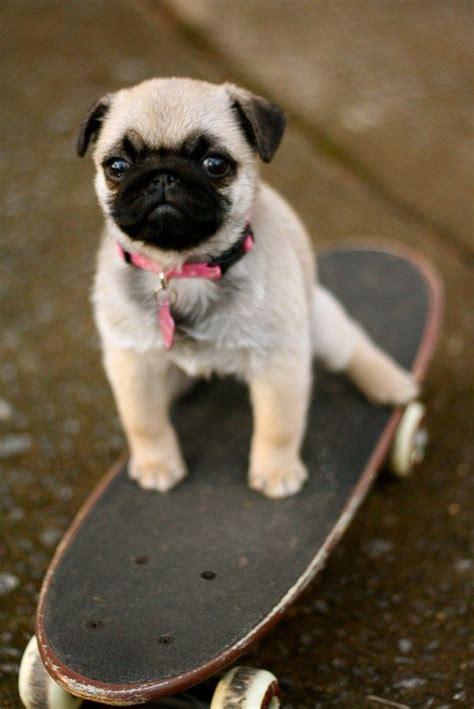 pug quiz how well do you your pug quiz