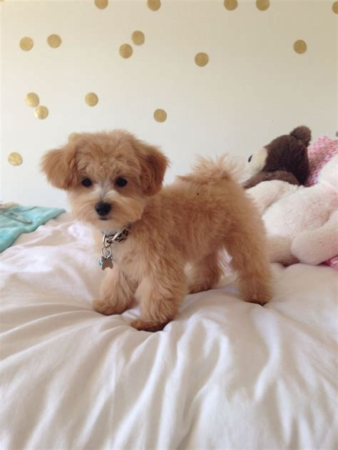 poodle mix dog hair cut 444 best images about maltipoo on pinterest