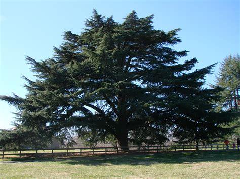 tree farms richmond va tree of the month deodar cedar arborscapes richmond