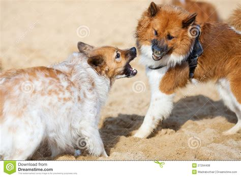 puppy barks at other dogs two elo dogs barking at each other royalty free stock photos image 27294408