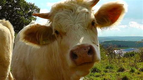scow head researchers says that cows give more milk when listening