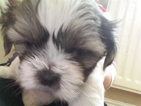 shih tzu puppies for sale in lancashire pedigree shih tzu puppies for sale blackburn lancashire pets4homes