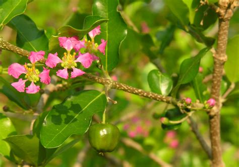 Barbados Cherry barbados cherry hd desktop wallpapers